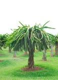 Dragon fruit. Plants field closeup royalty free stock photo