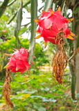 Dragon fruit. On a tree royalty free stock photo