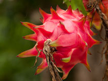 Dragon Fruit. Is brightly colored plants. Easily grown in Thailand Stock Photography