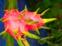 Dragon fruit 3 Royalty Free Stock Photography