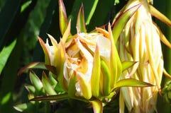 Dragon Fruit Lizenzfreies Stockbild