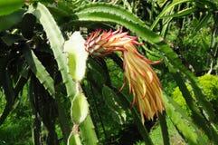 Dragon Fruit Stockfoto