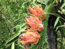 Dragon Fruit Photographie stock libre de droits