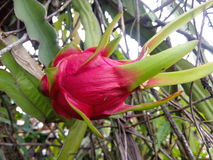 Dragon Fruit Photographie stock libre de droits