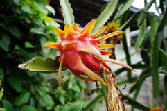 Dragon Fruit Lizenzfreie Stockbilder