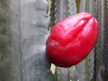 Dragon Fruit Imagen de archivo