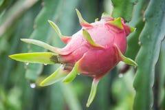 Dragon Fruit auf dem Baum nach Regen stockbild