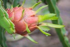 Dragon Fruit auf dem Baum nach Regen lizenzfreie stockbilder