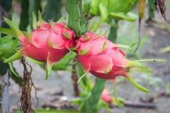 Dragon Fruit auf dem Baum nach Regen lizenzfreies stockbild