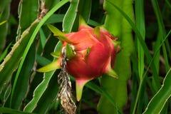 Cactus Fruit Pitaya stock photo