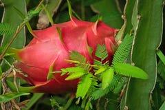 Cactus Fruit Pitaya stock photography