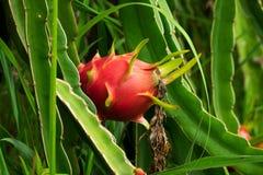 Cactus Fruit Pitaya stock photos