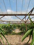 Dragon fruit farm Stock Images