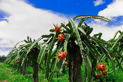 Dragon fruit farm in Thailand Royalty Free Stock Image
