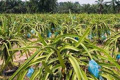 Dragon fruit farm Royalty Free Stock Photos