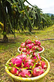 Dragon fruit field Stock Images