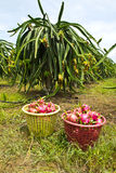 Dragon fruit field Stock Photo