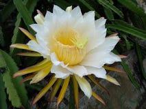 Dragon Fruit Flower fotografia stock libera da diritti