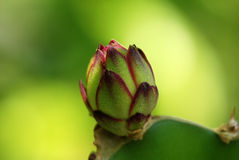 Dragon fruit flower Royalty Free Stock Photo