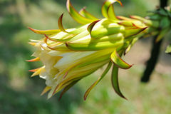 Dragon Fruit flower Royalty Free Stock Image