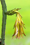 Dragon fruit flower Stock Image