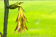 Dragon fruit flower Royalty Free Stock Photo