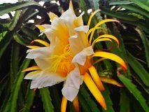 Dragon Fruit Flower Images stock
