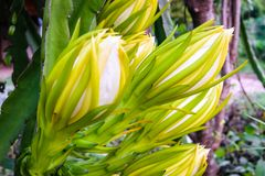 Dragon Fruit Flower Imágenes de archivo libres de regalías