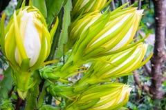 Dragon Fruit Flower Imagenes de archivo