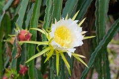 Dragon fruit flower. Blooming in garden royalty free stock photo