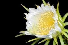 Dragon fruit flower on blooming (hylocereus cactaceae) Stock Photography