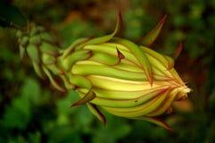 Dragon Fruit Flower Close omhoog royalty-vrije stock fotografie