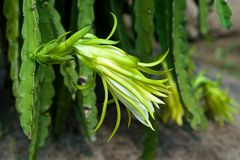 Dragon Fruit Flower Royalty Free Stock Images