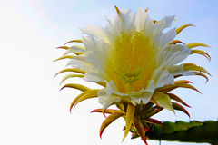 Dragon fruit flower Stock Images