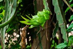 Dragon fruit flower. In garden stock photography