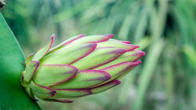 Dragon fruit flower Stock Photography