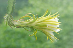 Dragon fruit flower with water drops. Royalty Free Stock Photography