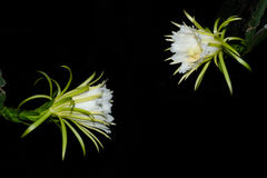 Dragon fruit flowers Stock Photography