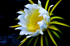 Dragon fruit flowers Royalty Free Stock Photos