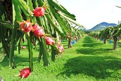 Dragon fruit garden Stock Photos