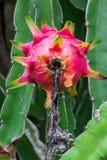 Dragon fruit in garden Royalty Free Stock Photo