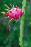 Dragon fruit in garden Stock Image