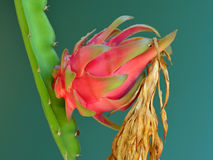 Dragon fruit in garden Royalty Free Stock Images