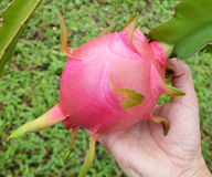 Dragon fruit in hand Royalty Free Stock Image