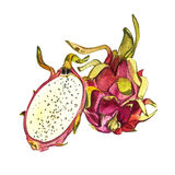 Dragon fruit isolated on white background. Tropical set, Watercolor sketch object. Dragon fruit isolated on white background. Tropical set, Watercolor sketch Stock Photography