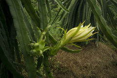Dragon Fruit Literally Blooms i Vietnam Arkivbild
