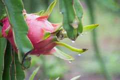 Dragon Fruit na árvore após a chuva imagens de stock royalty free