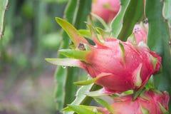 Dragon Fruit na árvore após a chuva fotografia de stock royalty free