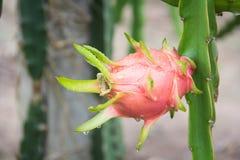 Dragon Fruit na árvore após a chuva foto de stock royalty free