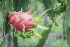 Dragon Fruit na árvore após a chuva imagem de stock